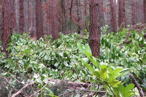 Rhododendron eradication moves to next stage